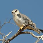127_black-shouldered_kite0731_MKO6526m_froneman