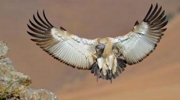 cape_vulturem