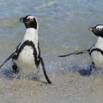 African Penguins3