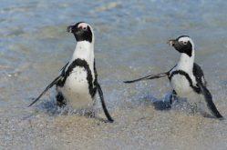 African Penguins3