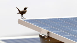 Solar Anteater Chat on solar panel Peter Ryan