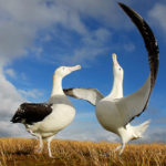 D1-Wandering-Albatross-dance-Ben-Dilley