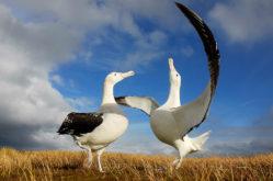 D1-Wandering-Albatross-dance-Ben-Dilley