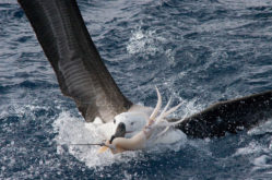 D2-Albatross-attacking-bait-Fabiano-Peppes