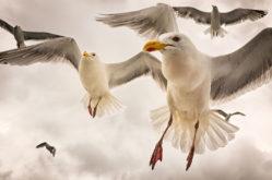 SC3-Kelp-Gulls-Teresa-Nel