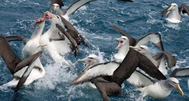 W2-Salvin_s-Albatrosses-Raldi-Somers