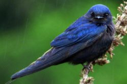 Blue_Swallow_S. Du Plessis Bom-Shweimer_1