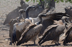 White-backed Vulture 2 - Etosha, Namibia