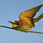 ~european_bee-eater~_CVR2314_pafuri_south_africa~c_v_rooyen